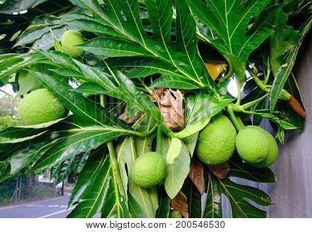 Breadfruit (artocarpus Altilis) Tree With Fruits