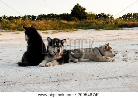 Puppies of the Alaskan malamula close-up on sand in summer