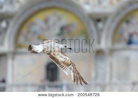 The seagull flies against the background of the Basilica di San Marco (Saint Mark`s Basilica) in Venice, Italy. Basilica di San Marco was built in the 12th century and is the main tourist attraction of Venice.