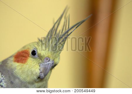 Portrait Of Pet Cockatiel With Blurred Background