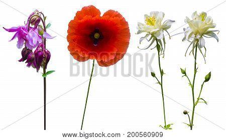 poppy. red poppy isolated on white background.red poppy. columbine. Columbine flower. Columbine flower isolated on a white background. Herbarium of spring flowers.