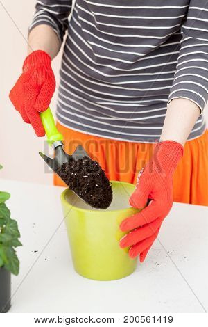 The gardener pours the earth into a pot for transplanting plants. Home gardening relocating house plant.