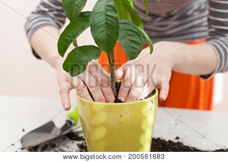 Woman's hands transplanting plant a into a new pot. Home gardening relocating house plant
