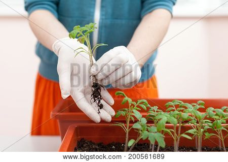 Woman's hands in gloves keeps the seedlings of tomato and pepper in hand. Transplanting seedlings in a pot