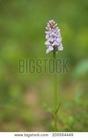 Inflorescence of Dactylorhiza maculata the heath spotted-orchid.