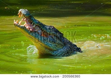 Crocodiles At Crocodile Farm. Sarawak. Borneo. Malaysia