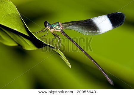 Damselfly mix with green color