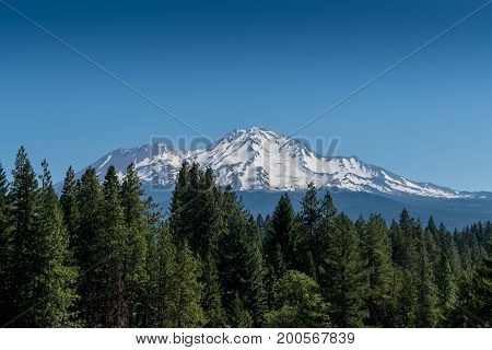 Mount Shasta Looms Over Pine Trees