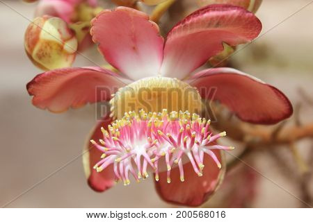 Shorea robusta also known as Sal or Shala Tree is a species of tree belonging to the Dipterocarpaceae family