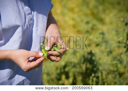 Closeup of woman's hands cleaning pod of peas on garden background. Girl eating organic peas. Healthy eating snack.