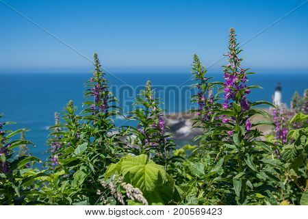 Purple Loosestrife Grows Above Pacific Ocean