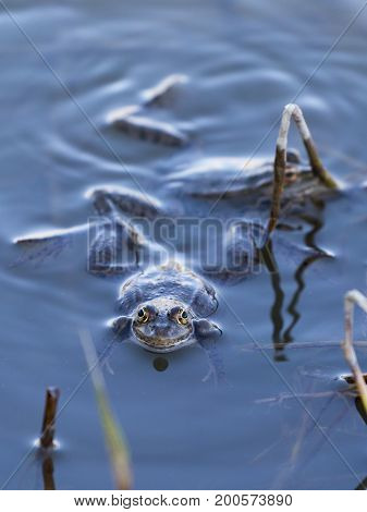 Frogs sit in clear clear transparent water