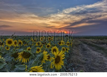 Summer landscape with field of sunflowers and dirt road. Rural landscape of empty road near sunflower field at sunset