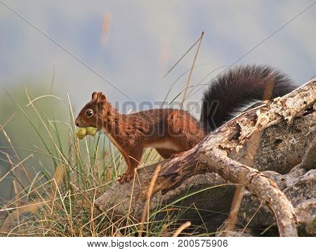 Red Squirrel (Sciurus vulgaris). Squirrel carries hazelnuts for the winter