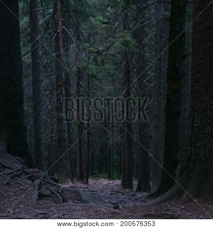 Dark path of coniferous forest. mysterious forest.