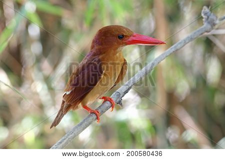 Ruddy Kingfisher Halcyon Coromanda Cute Birds Of Thailand