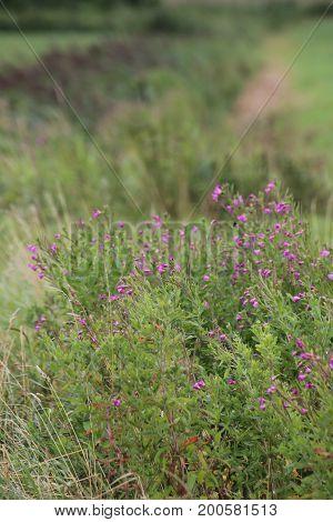 Blossoming Epilobium Hirsutum, The Great Hairy Willowherb