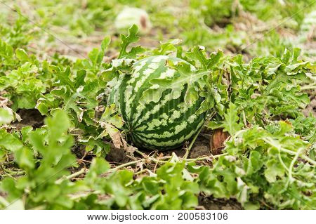 Watermelon growing in the garden agriculture cultivated