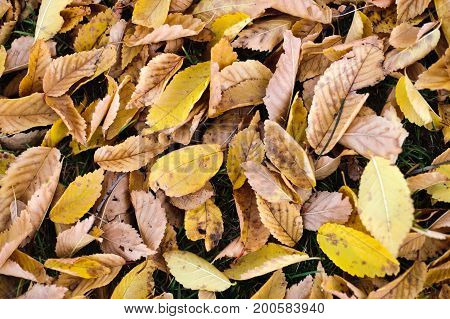 Yeallow and brown autumn fall leaves background