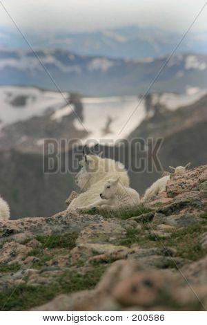 Mountain Goats Mt Evans 1
