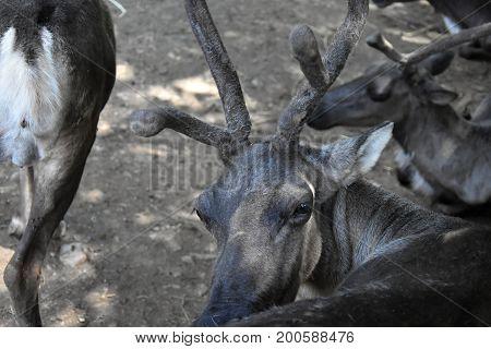 Reindeer Rangifer tarandus. Reindeer head. Animal farm