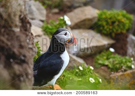 Puffin on the rocks at latrabjarg Iceland on a sunny day, Iceland, West Fjords.