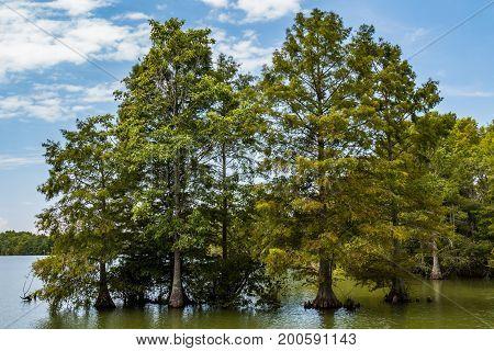 A group of Bald Cypress trees at Stumpy Lake Natural Area in Virginia Beach, Virginia.