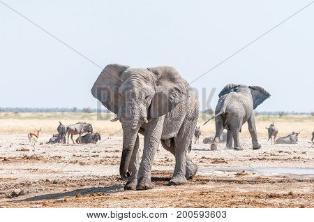 Two African elephants blue wildebeest and springbok at a waterhole in Northern Namibia