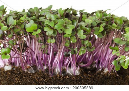 Red cabbage, fresh sprouts and young leaves front view over white. Vegetable and microgreen. Also purple cabbage, red or blue kraut. Cotyledons of Brassica oleracea in potting compost. Macro photo.