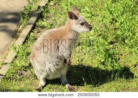 Cute funny kangaroo in zoological garden
