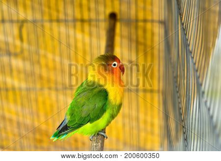 Beautiful lovebirds in cage Lovebird is a symbol of love