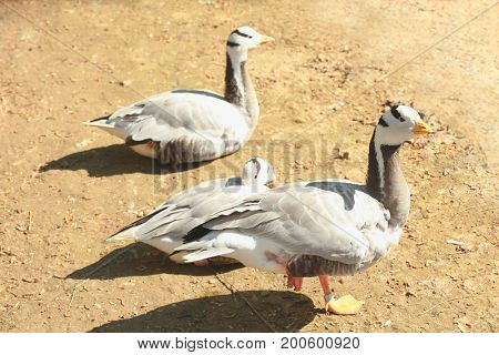 Cute geese in zoological garden