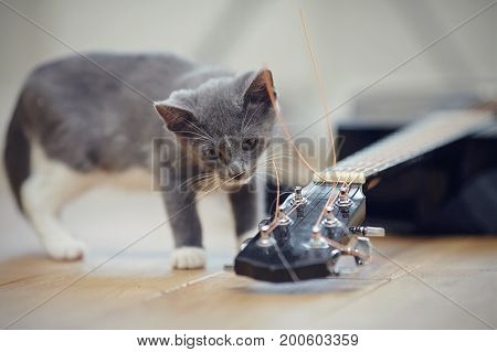 A gray curious kitten and the guitar lying on a floor.
