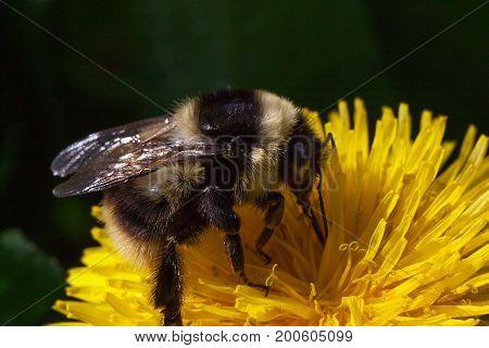 Bumblebee gathers pollen from a dandelion flower. Closeup.