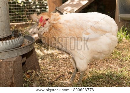 Hens And Roosters Looking For Food And Pecking In The Hen House, At Sunny Day, Close Up, Concept Far