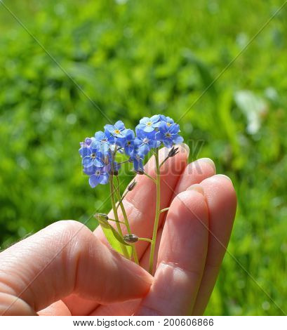 Blue forget me nots flowers in the hand