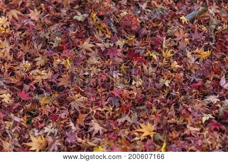 Autumn color change is season colorful with red and yellow leaves alternates beautiful nature moutain background in Eikando temple Kyoto Japan.
