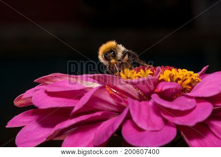 Bumblebee gathers nectar from a zinnia flower. Closeup.