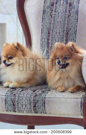 Two beautiful pomeranian puppies liying in a large armchair. Pet animals.