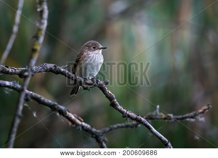 The spotted flycatcher (Muscicapa striata) is a small passerine bird in the flycatcher family