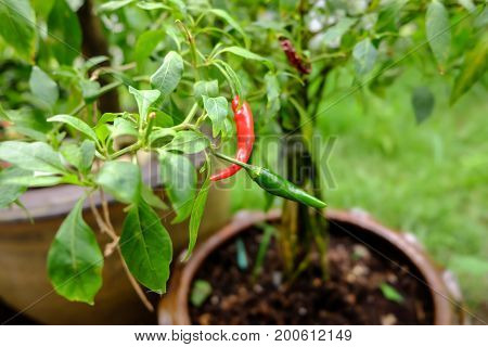 Chili In Garden Organic, Red, Very Hot And Spicy Chilli Peppers On An Asian Market. Healthy And Vege