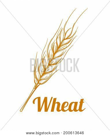 Hand drawn cereal crops sketches. Gluten food ingredient engraving retro vintage style. Wheat bread ears cereal crop sketch hand drawn vector illustration.