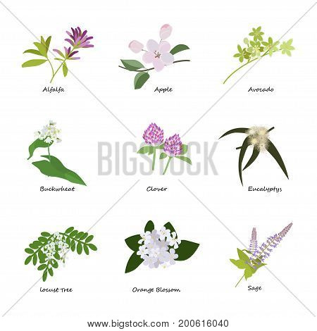 Honey planty set for produsing the best honey. Flowers eps10 vector illustration.