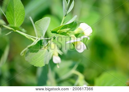 Blooming Pea In Garden Over Blurry Background