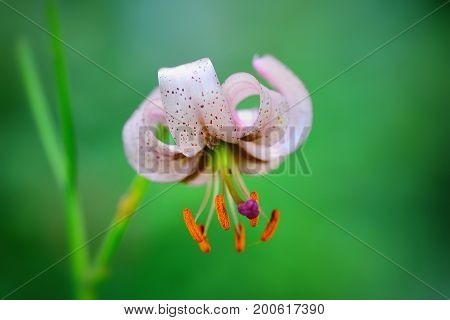 Martagon lily (Lilium martagon) flower close up