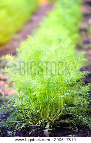 Dill growing in garden. Sunny day. Close up