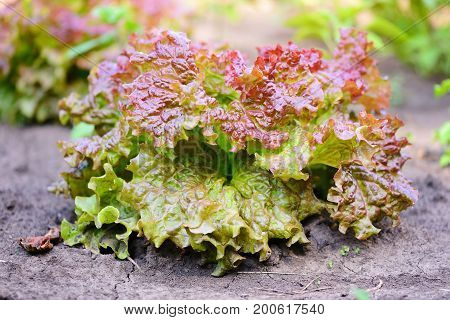 Bright  Red Lettuce Growing In The Summer Garden