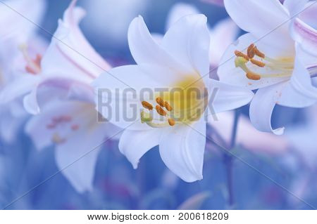 Delicate white lilies on a blue background in the garden