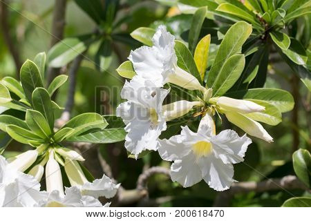 natural flowers Azalea flowers. Impala Lily or Desert Rose or Mock Azalea beautiful white flower in garden.