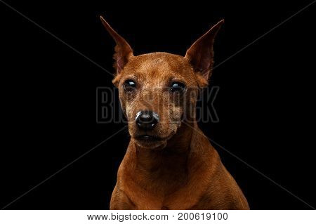 Portrait of Miniature Pinscher old Dog, Red color, on Isolated Black Background